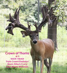 Crown of Thorns ( Wh 65 )