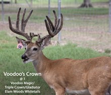 Voodoo's Crown